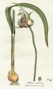 allium, garlic