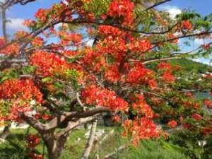 Deep, wide, of the soil: Kreyol is a bit like Haiti's  passionately red Flamboyant Tree (Photo by Rashmee Roshan Lall)