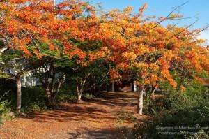 Puerto Ayora, Santa Cruz Island, Galapagos, Ecuador. Flowering Flamboyant trees line either side of the road in the El Eden section of Puerto Ayora