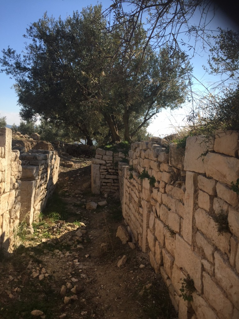 Olive tree on one of the walls of the Dougga bordello