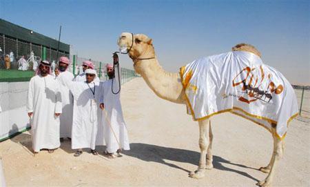 Al Dhafra camel festival