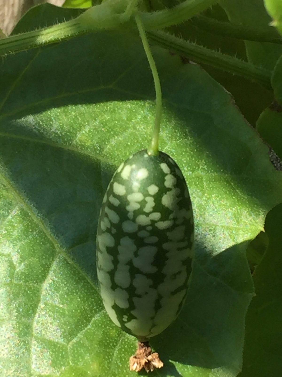 Imagine a cucumber that looks like a grape-sized watermelon